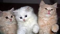 Gambar Kucing Comel Gambar Anak Kucing