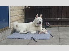 White American Akita   Bradford, West Yorkshire   Pets4Homes