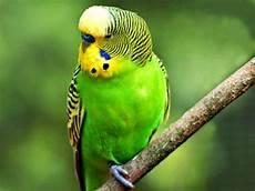 Gambar Kartun Burung Lovebird Kartun Kocak