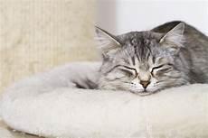 reizende silberne katze im haus weibliche sibirische