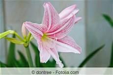 amaryllis pflege nach blüte amaryllis hippeastrum ist verbl 252 ht pflege nach der bl 252 te