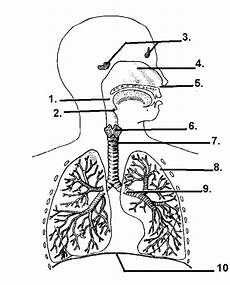 respiratory system hsc pdhpe