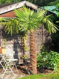 Chinesische Hanfpalme Hanfpalme Tropische Pflanzen