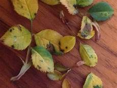 löcher in rosenblättern gartenfragen anleitungen profitipps garten center meier
