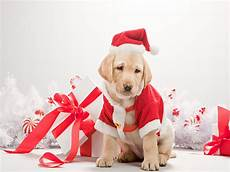 dog christmas pictures wallpapers9