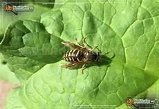 bienen niedrigere klassifizierungen yellow jacket bug scientific name characteristics