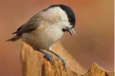 einheimische vögel im winter leicht zu verwechseln v 246 gel bestimmen im winter nabu