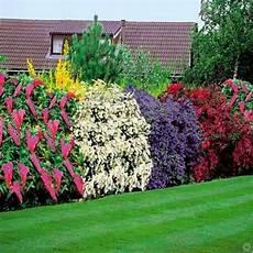 pflanzen für hecke bl 252 hende hecke schnell und g 252 nstig kaufen