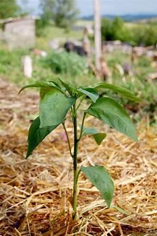 plant de poivron poivrons et piments semis culture et r 233 colte au potager
