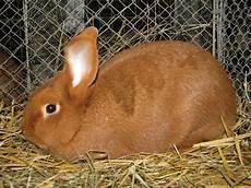 sachsengold kaninchenrasse