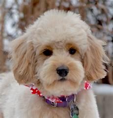 goldendoodle haircuts pets goldendoodle haircuts f1b goldendoodle haircuts goldendoodle grooming timberidge goldendoodles