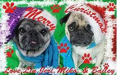 merry christmas pugs pug love pugs