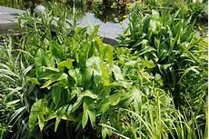 welche pflanzen klären den teich pflanzen koi teichcenter gmbh in hauptwil