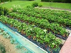 une grande et r 233 colte de fraises sur b 226 che planter