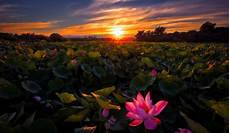 flower wallpaper on sunset lotuses flowers nature background wallpapers on