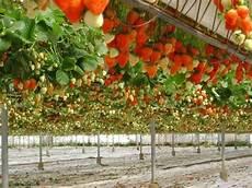 une culture de fraisiers en hors sol garden