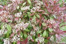 Photinia Fraseri Robin - tip photinia photinia fraseri robin hedge how