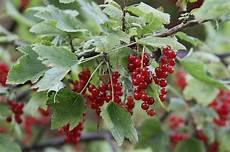 arbuste fruit les 6 arbustes 224 petits fruits indispensables au jardin