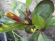 bananen pflanzen im garten mediterranen pflanzen im