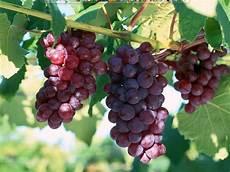 Nur Kholida Buah Anggur
