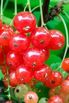 johannisbeeren pflanzen kaufen bcm johannisbeere 187 traubenwunder 171 h 246 he 30 40 cm 1