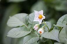kartoffeln pflanzen im august kartoffeln im sack anbauen auf kleinsten raum 187 majas