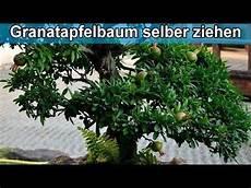 granatapfelbaum aus kern selber z 252 chten anleitung