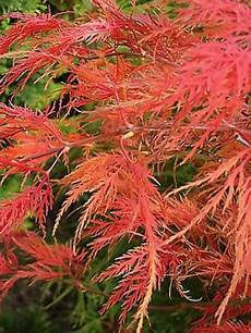 201 rable du japon dissectum viridis acer palmatum le