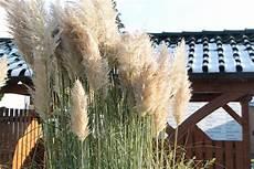 wann gräser schneiden pasgras schneiden wann und wie tipps zum idealen