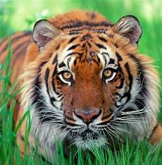 tigers in hubpages