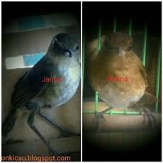 Ciri Ciri Perbedaan Burung Jongkangan Jantan Dan Betina
