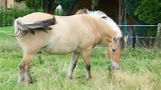 ausmalbilder pferde norweger h 252 hnerranch pferde norweger