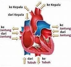 Gambar Organ Jantung Binatang Karnivora Beserta Fungsinya