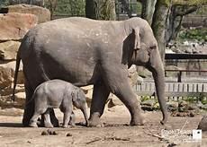 Malvorlage Indischer Elefant Galerie Elefanten Phototeam Schwarzenburg