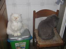 annunci gatti persiani coppia di gatti persiani petpassion
