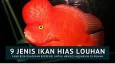 9 Jenis Ikan Hias Louhan Lengkap Beserta Gambar Dan Foto