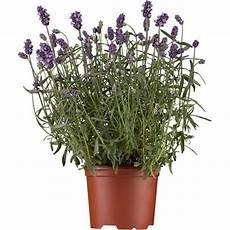 echter lavendel topf 216 ca 14 cm lavandula kaufen bei obi