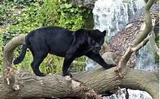 Black Panther Beautiful Panth 232 Re Panth 232 Re Animaux