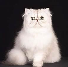 allevamento persiani chinchilla allevamento totina any gatti persiani chinchilla home