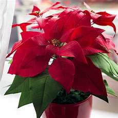 Weihnachtsstern Pflegen So Bleibt Er Lange H 252 Bsch