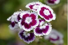 blumen klein small flowers the swedish name is borstnejlika