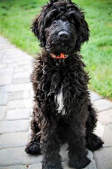 black labradoodle haircuts charlie the not so goldendoodle blackgoldendoodle goldendoodle pd dogs goldendoodle black