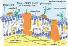 what are the lipids in a cell membrane quora