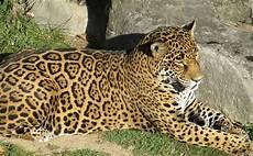 jaguar ou leopard jaguar big cat feline 183 free photo on pixabay