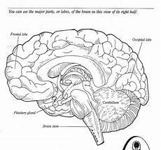11 best images of cadaver brain label worksheet brain label worksheet human brain worksheet