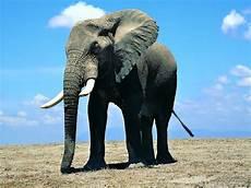 Gajah Animal Planet
