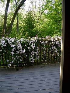 clematis montana schneiden clematis montana sorte wei 223 schlingpflanze balkon gel 228 nder