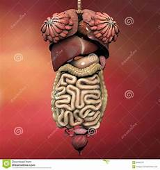 menschliche organe frau human anatomy stock illustration illustration