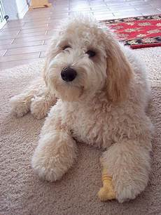 16 new goldendoodle haircut guide pictures meowlogy goldendoodle afternoon goldendoodle haircuts goldendoodle cute animals