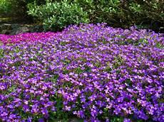Blumen Sonniger Standort - blaukissen 187 pflanzen pflegen vermehren und mehr